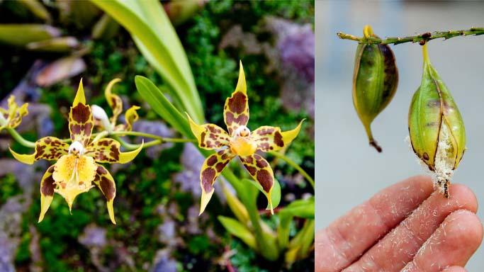 На выращивание орхидей из семенного материала решаются немногие